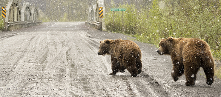 Grizzly pair walk snowy Dempster Highway Yukon Territory Tiaga Range Ogilvie Mountains